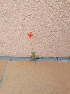 Amapola creciendo en cemento